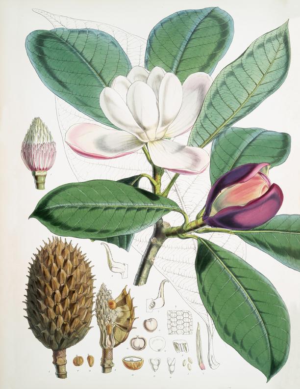 vintage magnolia flower botanical image