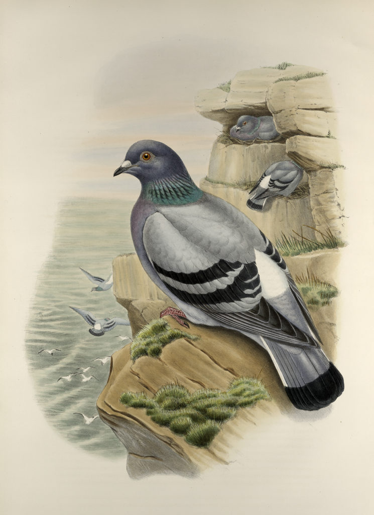 vintage seaside pigeon illustration