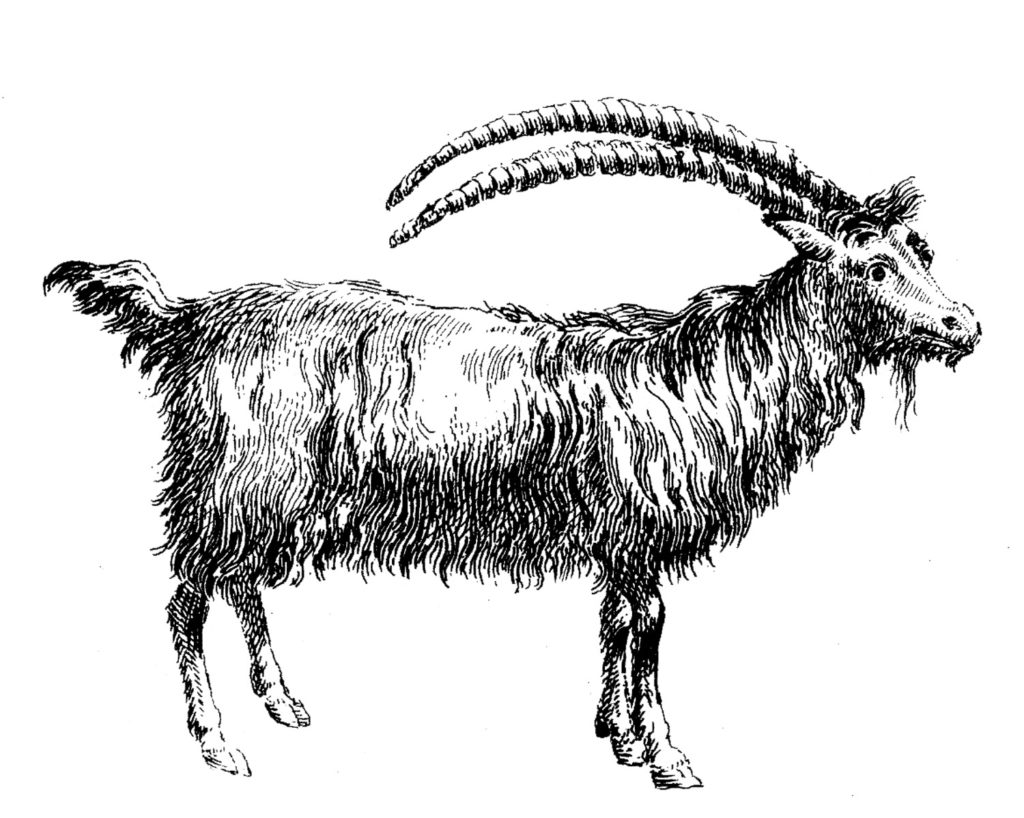 black white goat image clipart