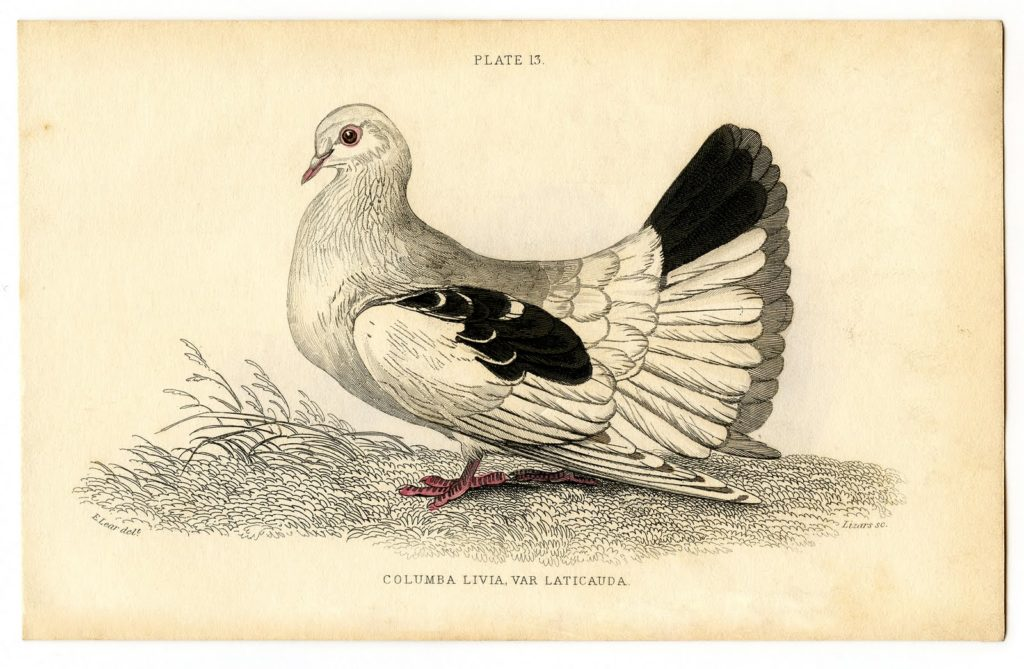 antique pigeon natural history clipart