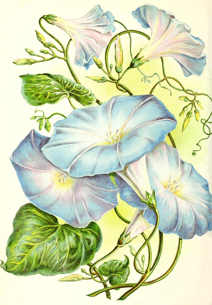 Blue Morning Glory Flower Image