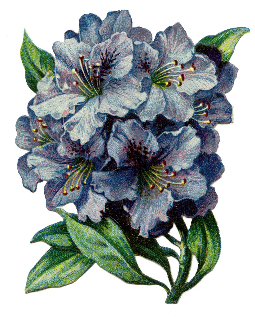 Blue Rhododendron Image