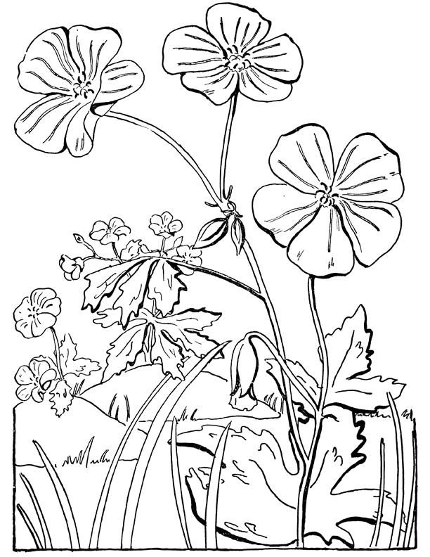 geranium coloring page illustration