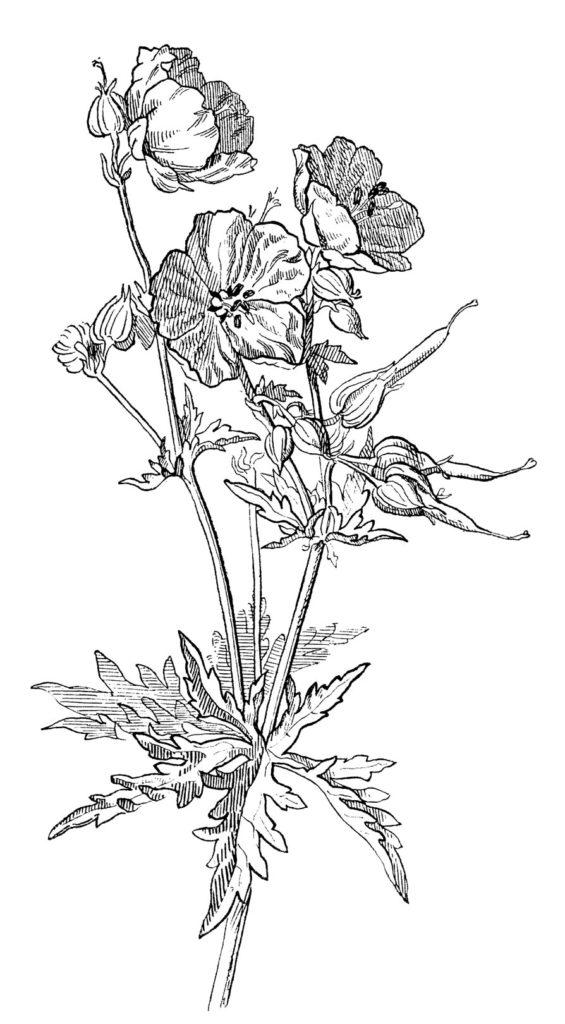 geranium drawing vintage image