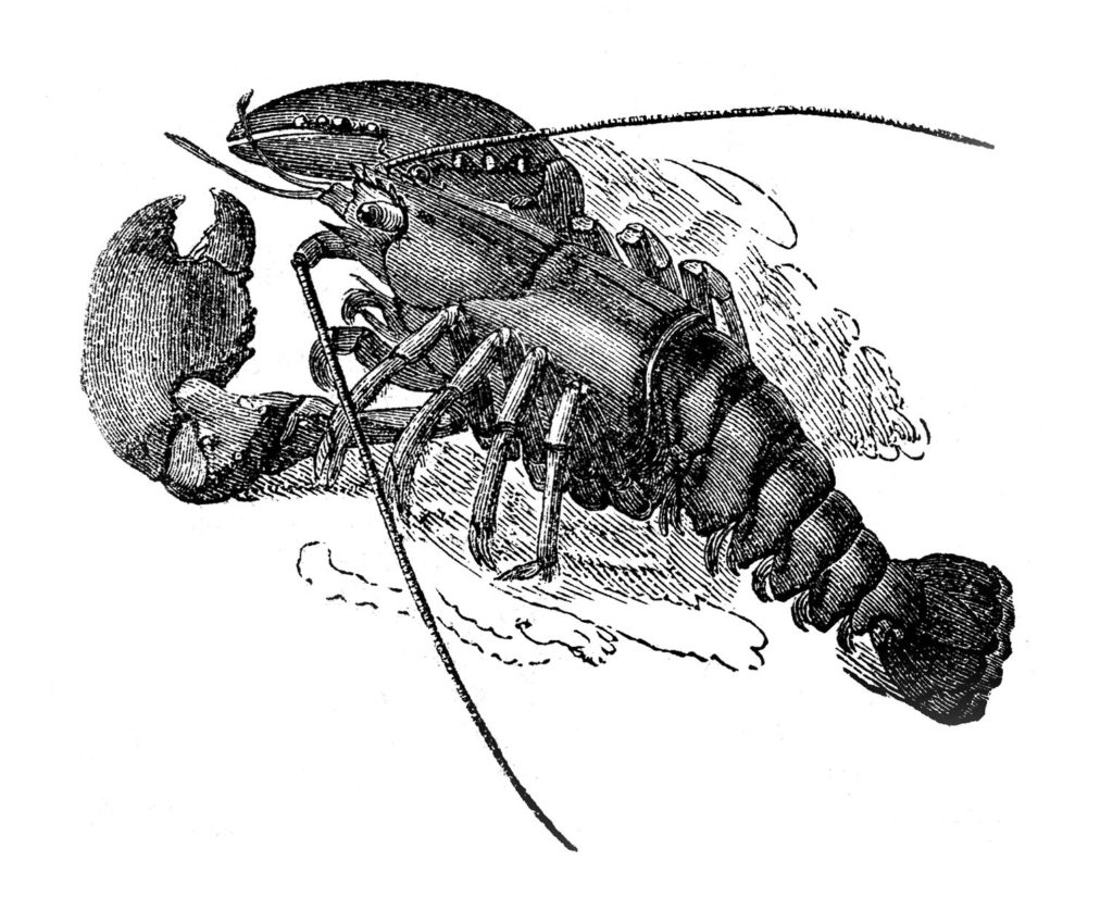 lobster black white clipart