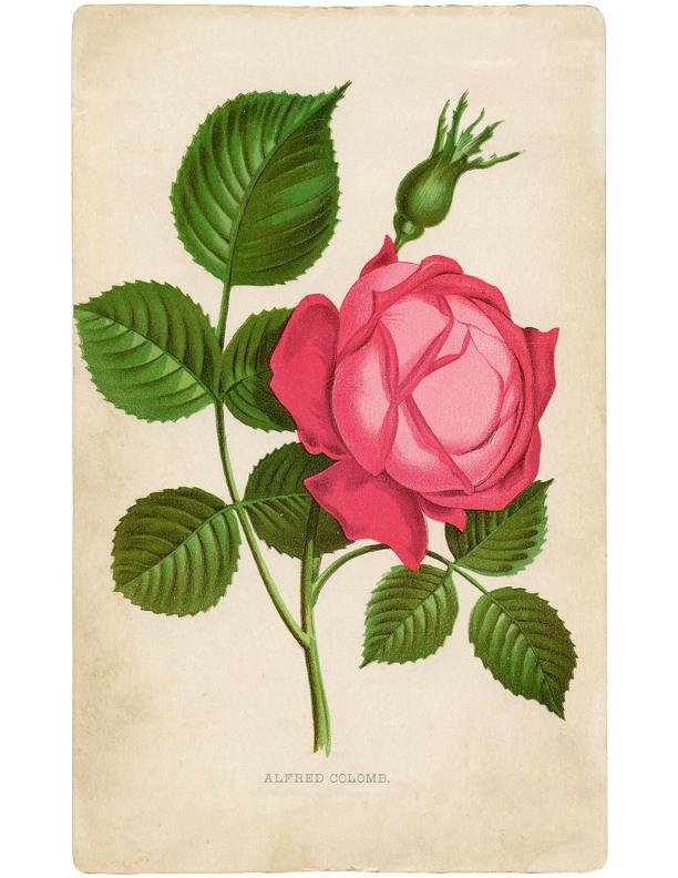 pink rose printable vintage image