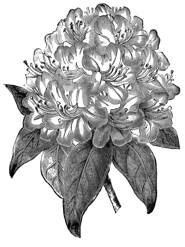 Rhododendron vintage clipart