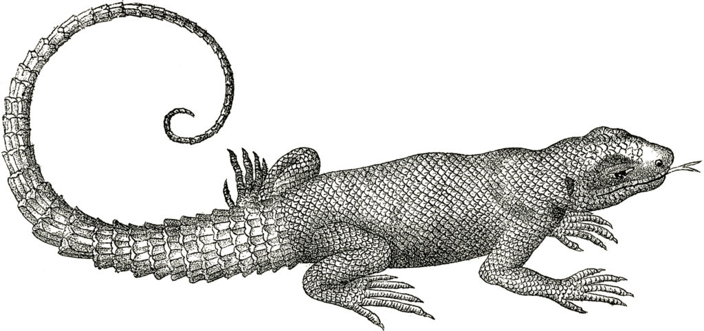 vintage lizard curly tail illustration