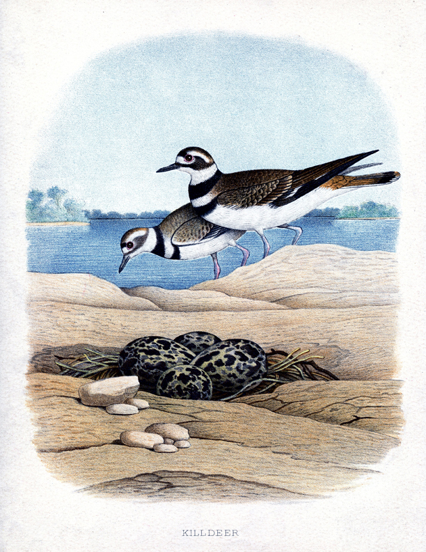 vintage seabird printable clipart