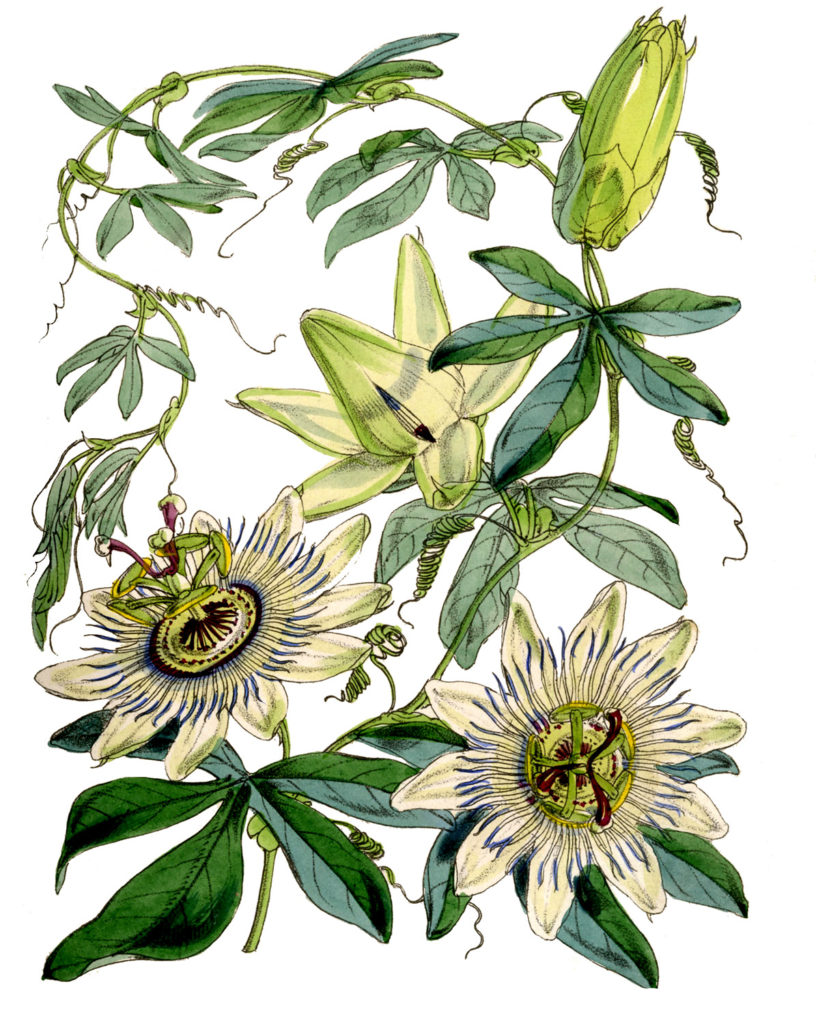 white passion flower vintage image
