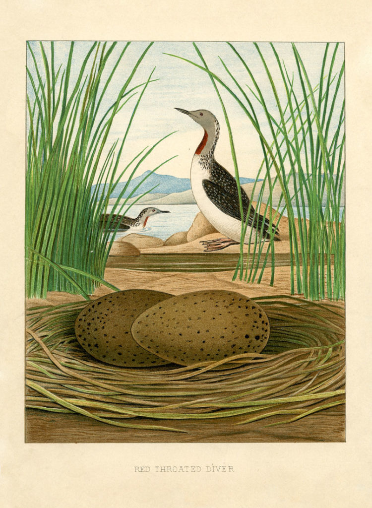 natural history sea birds nest eggs illustration