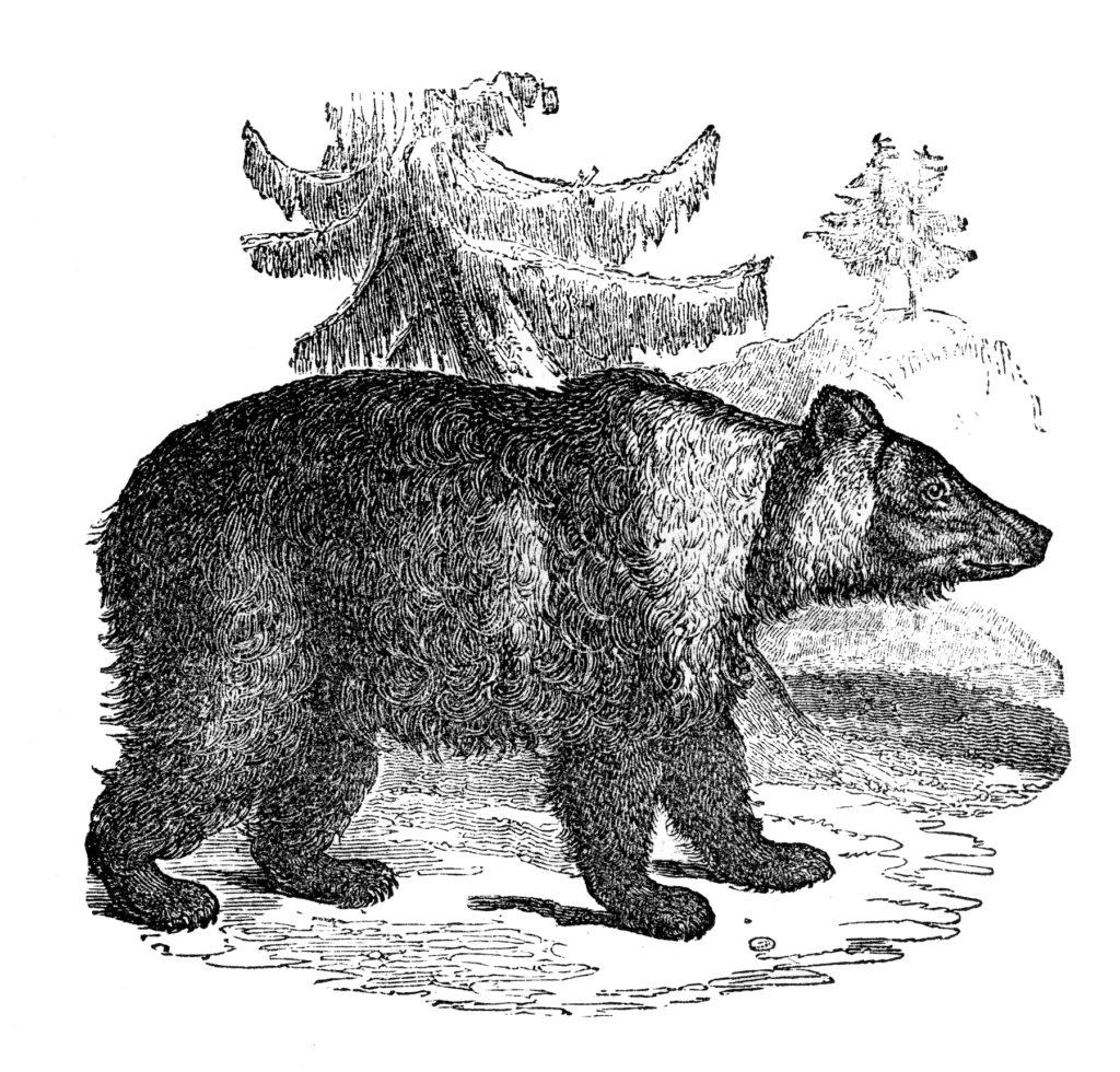 Siberian Bear Image
