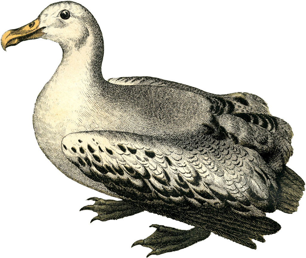 vintage albatross illustration