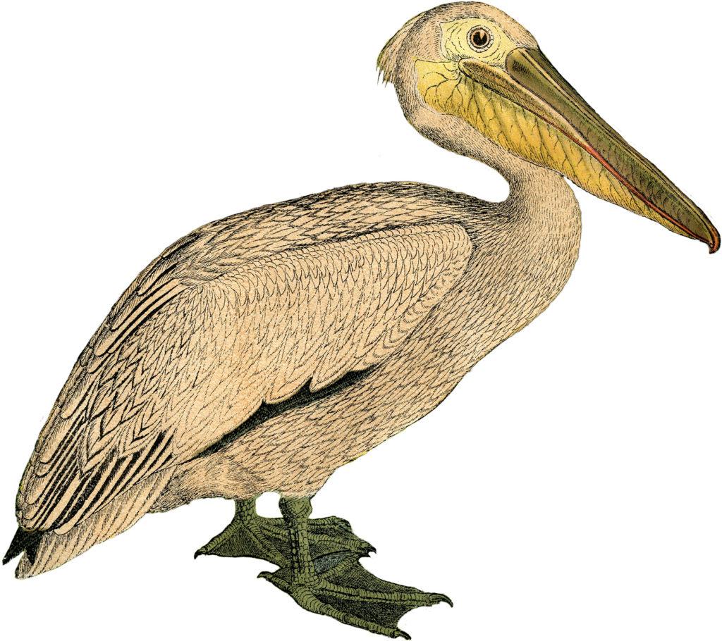 vintage pelican clipart