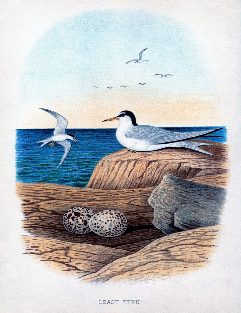 seabirds nest eggs vintage clipart