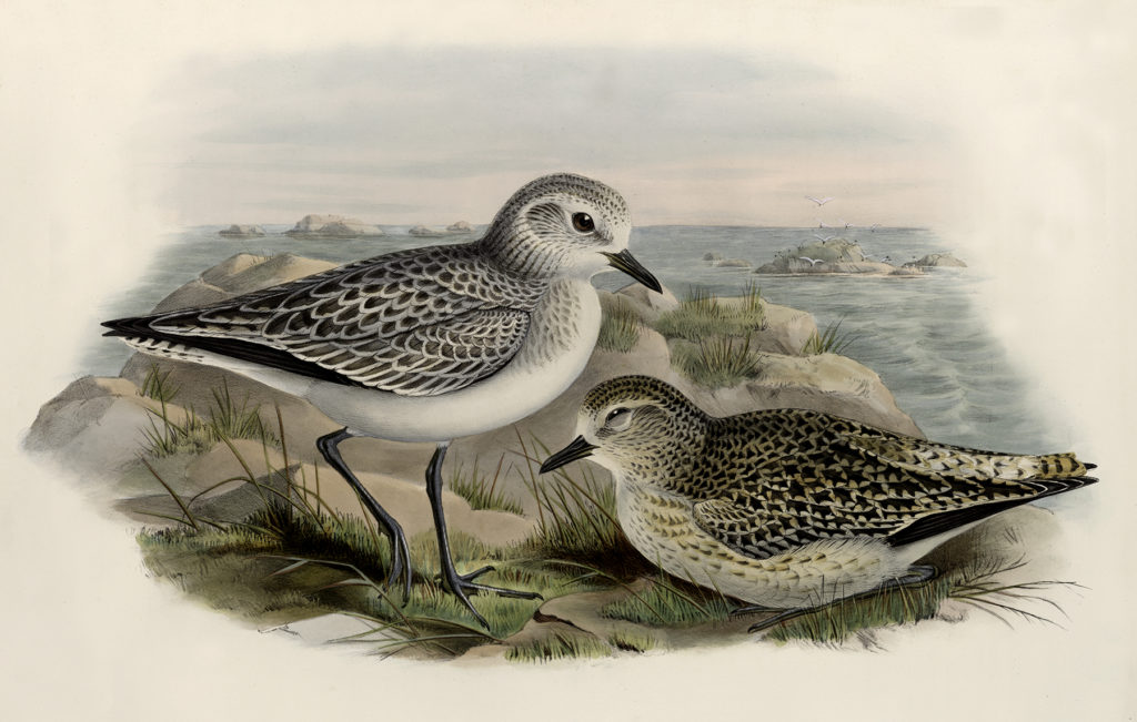shorebirds nesting vintage image