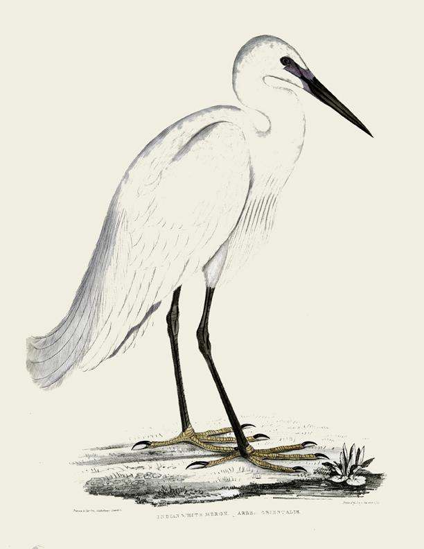 white heron vintage image