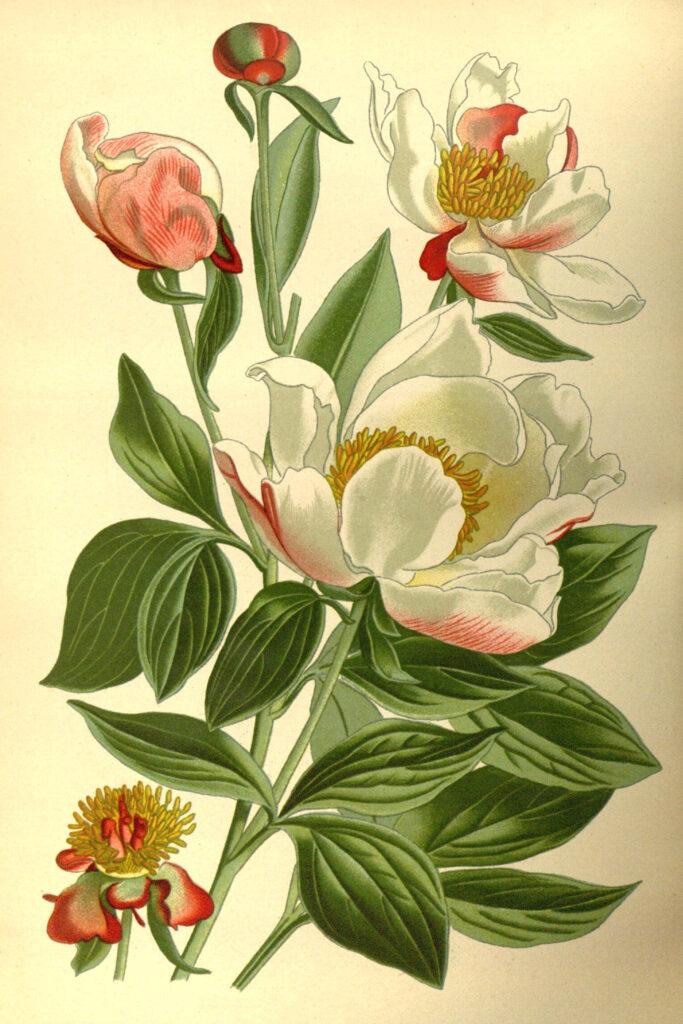 White and Pink Peony Flower Image
