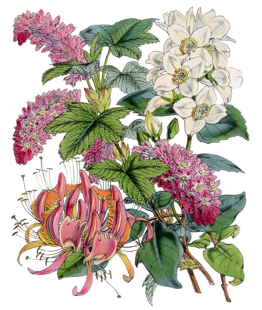 botanical pink vintage clipart
