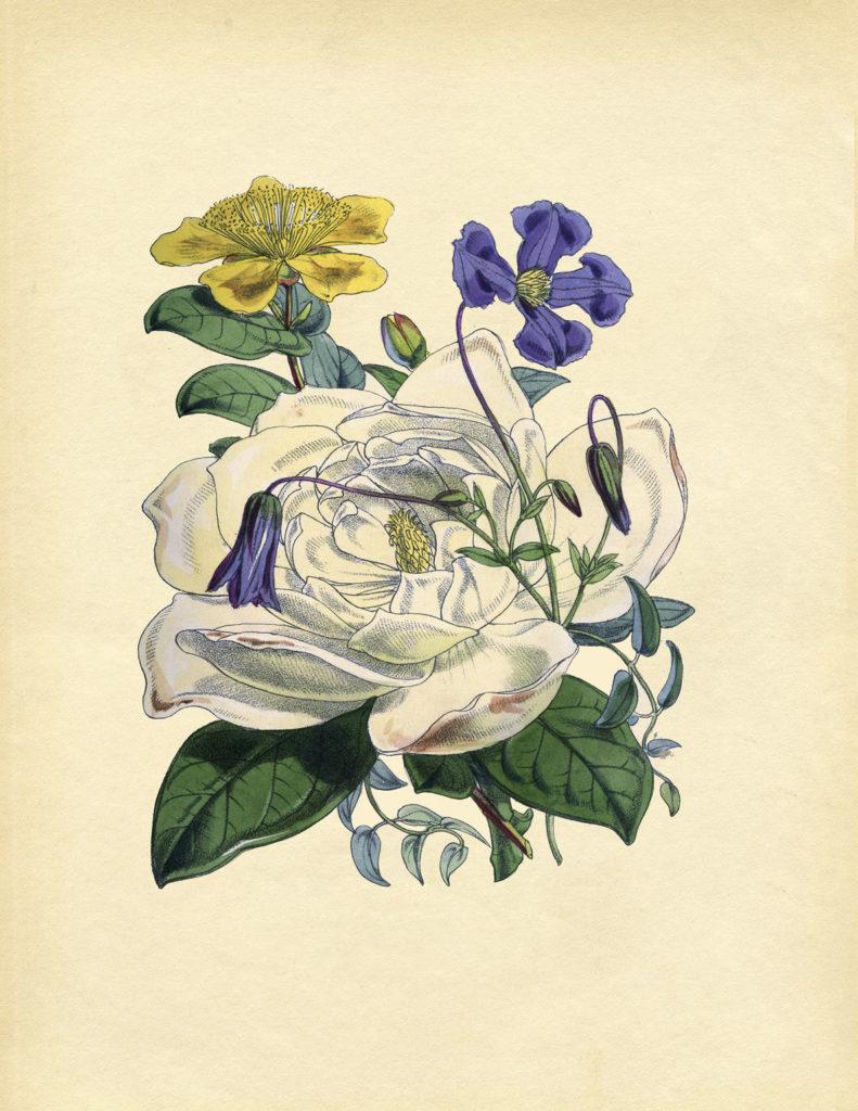 rose vintage botanical image