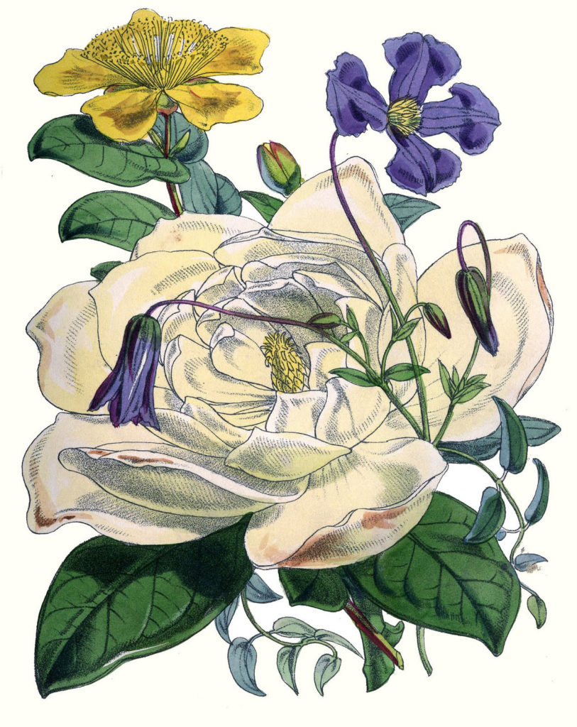 vintage white rose botanical image