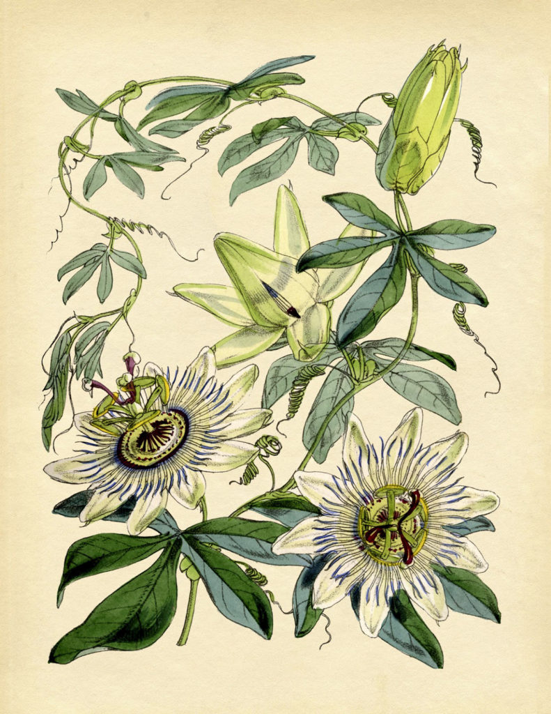 green passionflower illustration