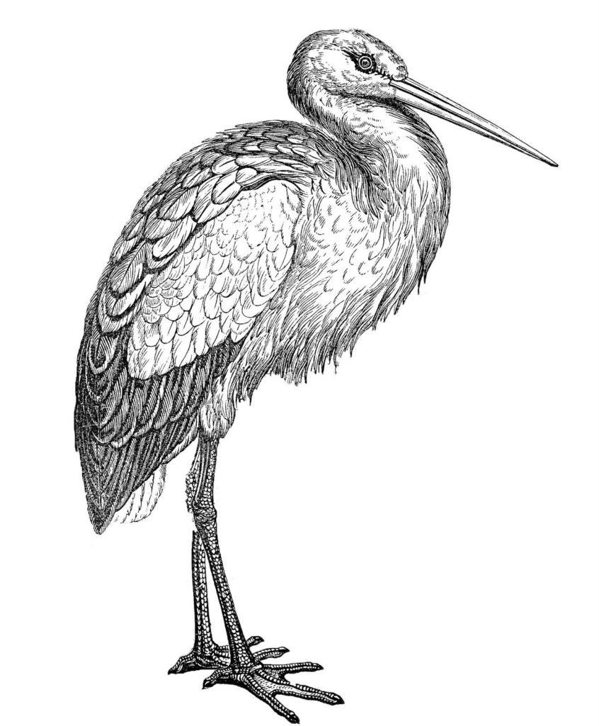 vintage stork illustration
