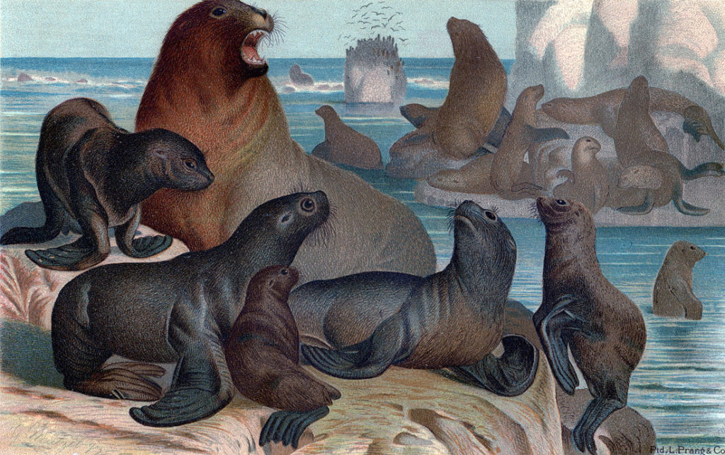 sea lions vintage illustration