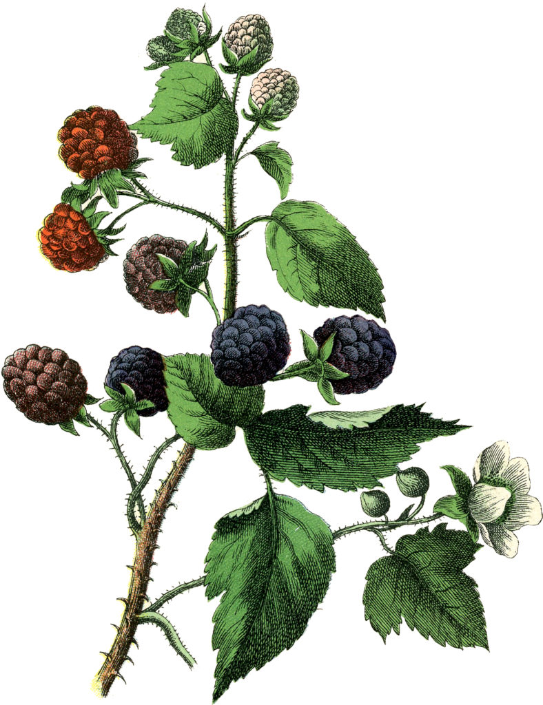 vintage Blackberries vine illustration