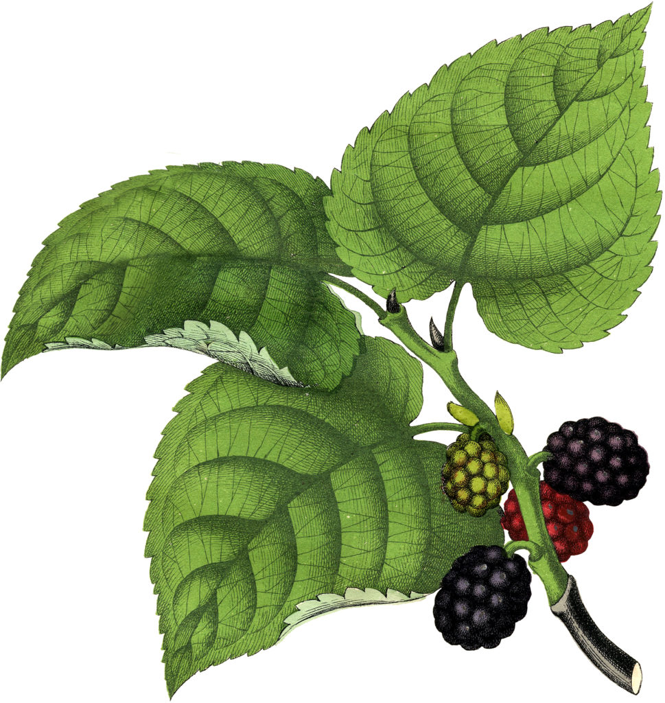 huckleberries leaves vintage clipart
