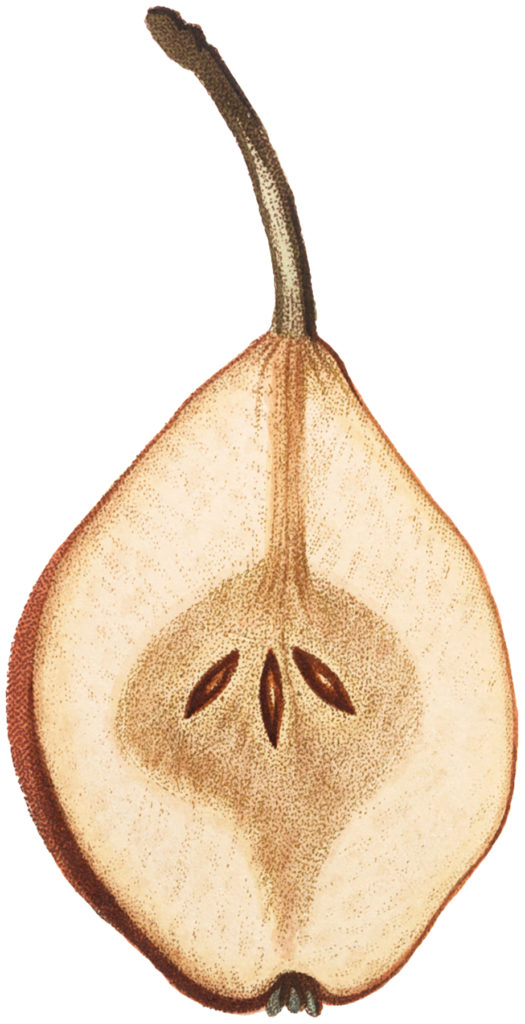 pear sliced cross section clipart