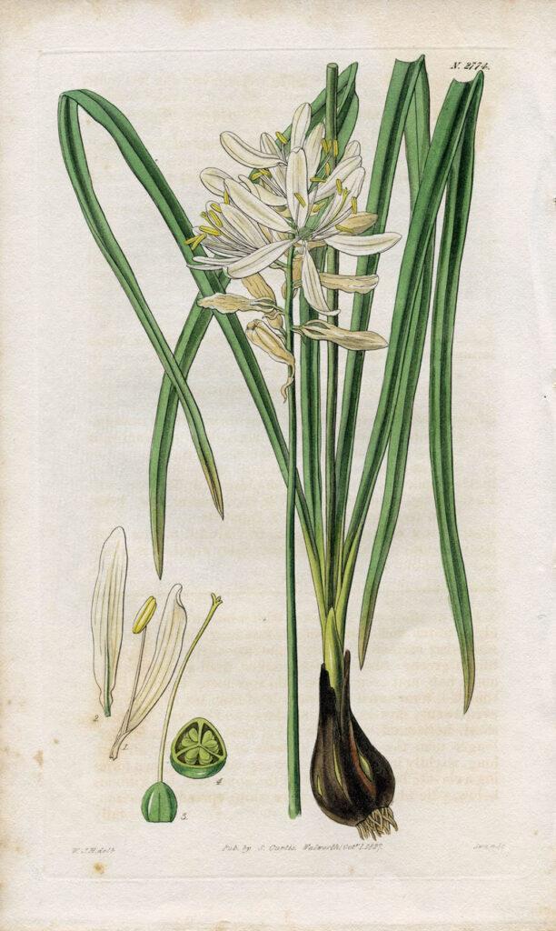 White Botanical Paper White Bulb Print