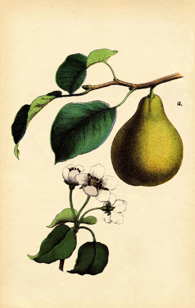 antique pear botanical print illustration