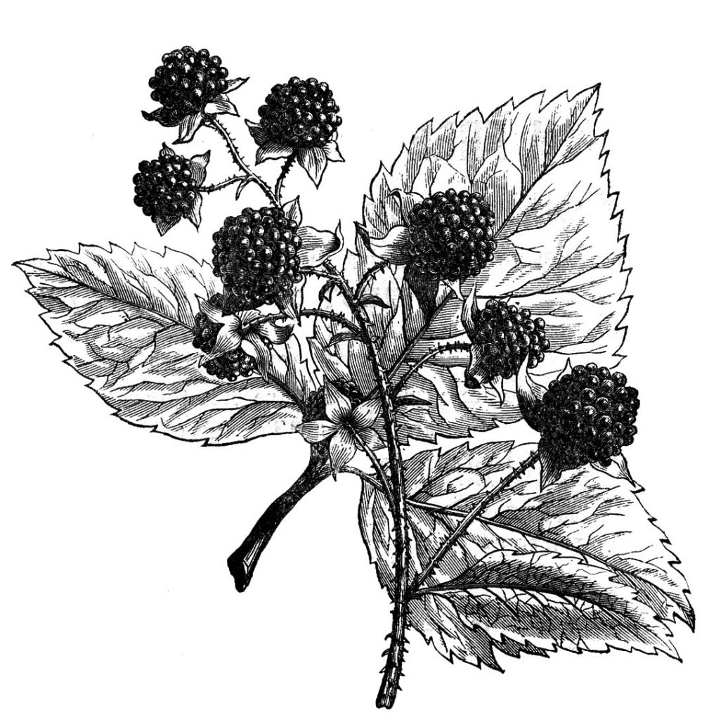 vintage berries black white clipart