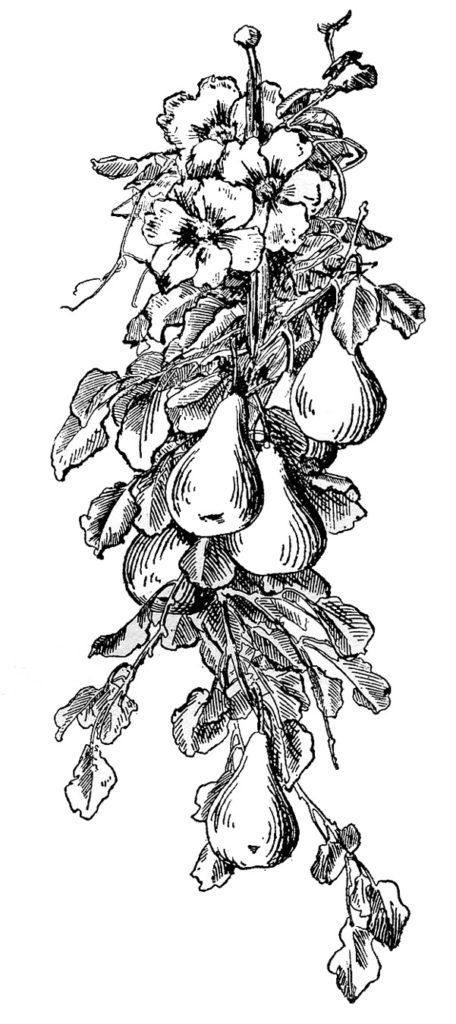 black white antique pear engraving image