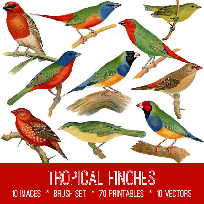 Tropical Finches vintage images
