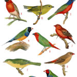 vintage tropical finches ephemera digital image bundle