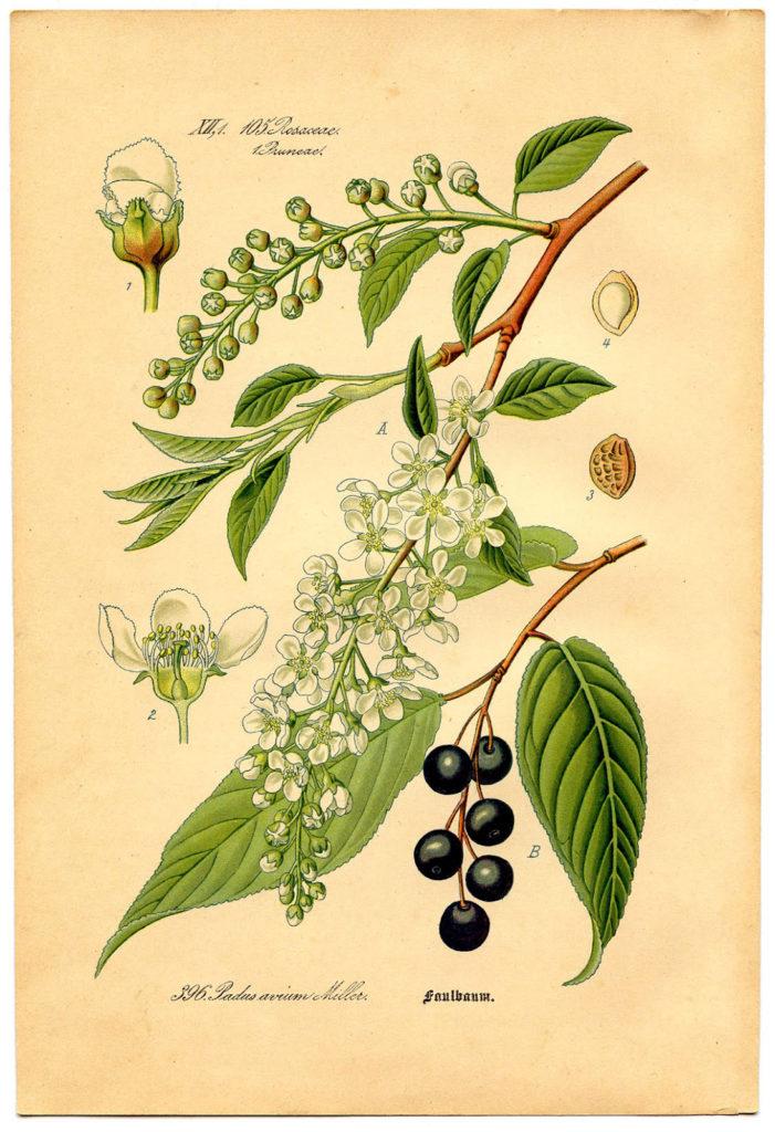 vintage bird cherry botanical clipart