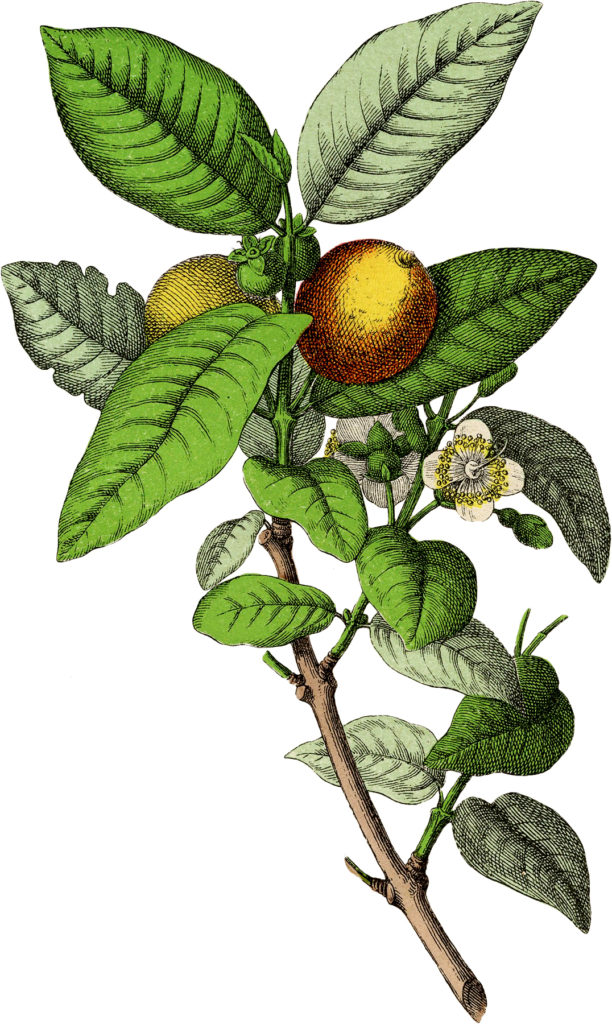 guava fruit branch vintage clip art
