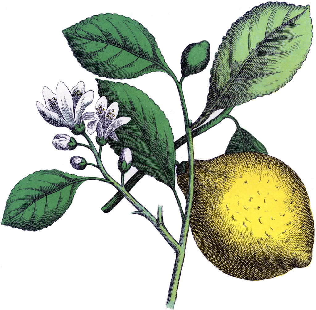 botanical lemon branch clipart