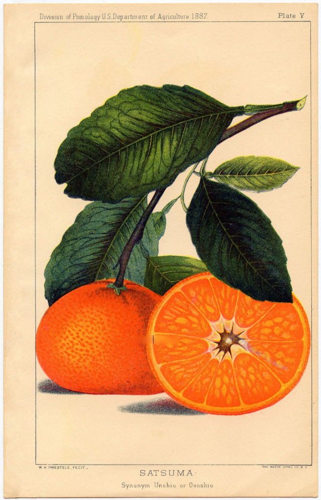 botanical orange print vintage image