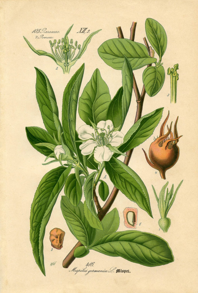 antique magnolia botanical printable image