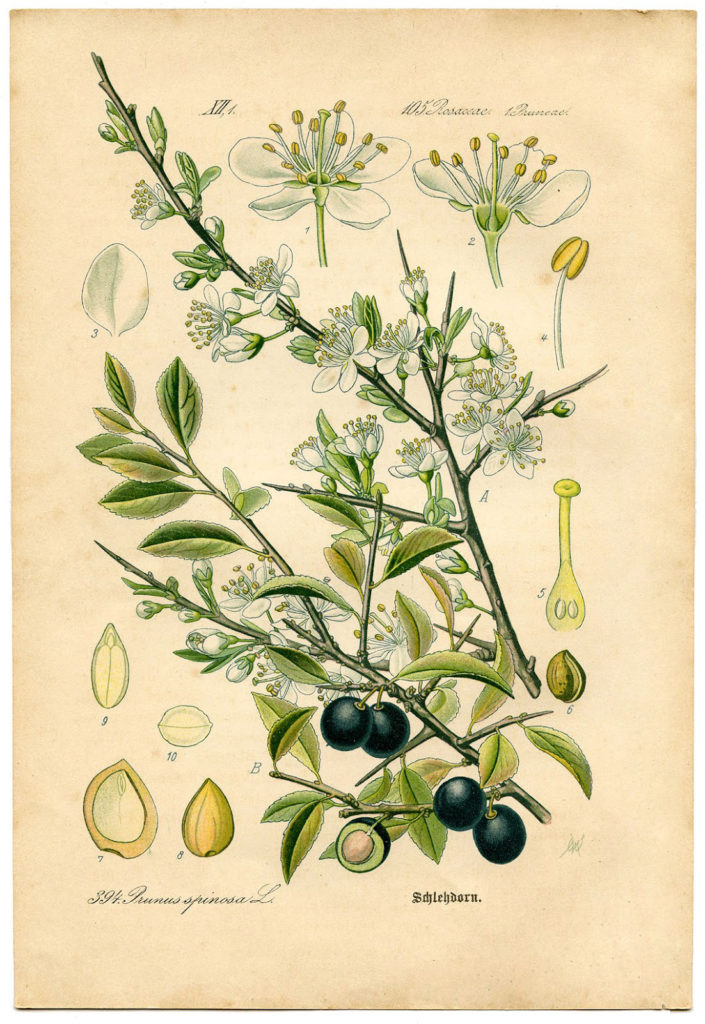 vintage Blackthorn botanic print clipart
