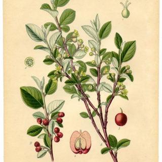 vintage cotoneaster botanical print image