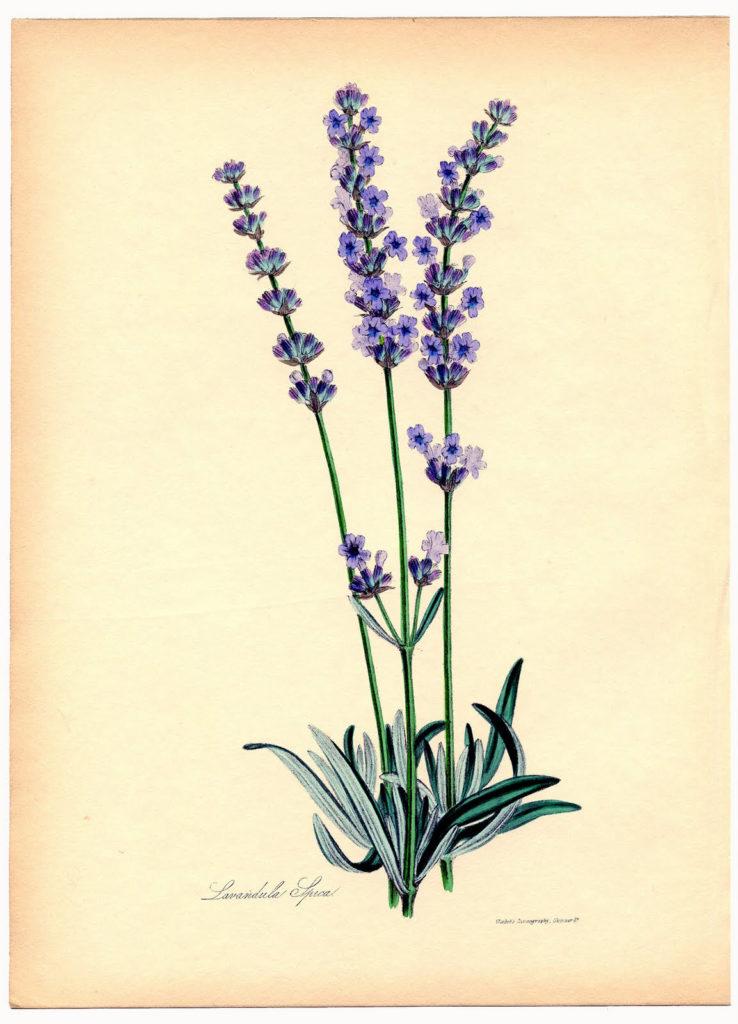 lavender botanical clipart