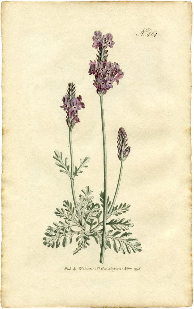 lavender botanical print illustration