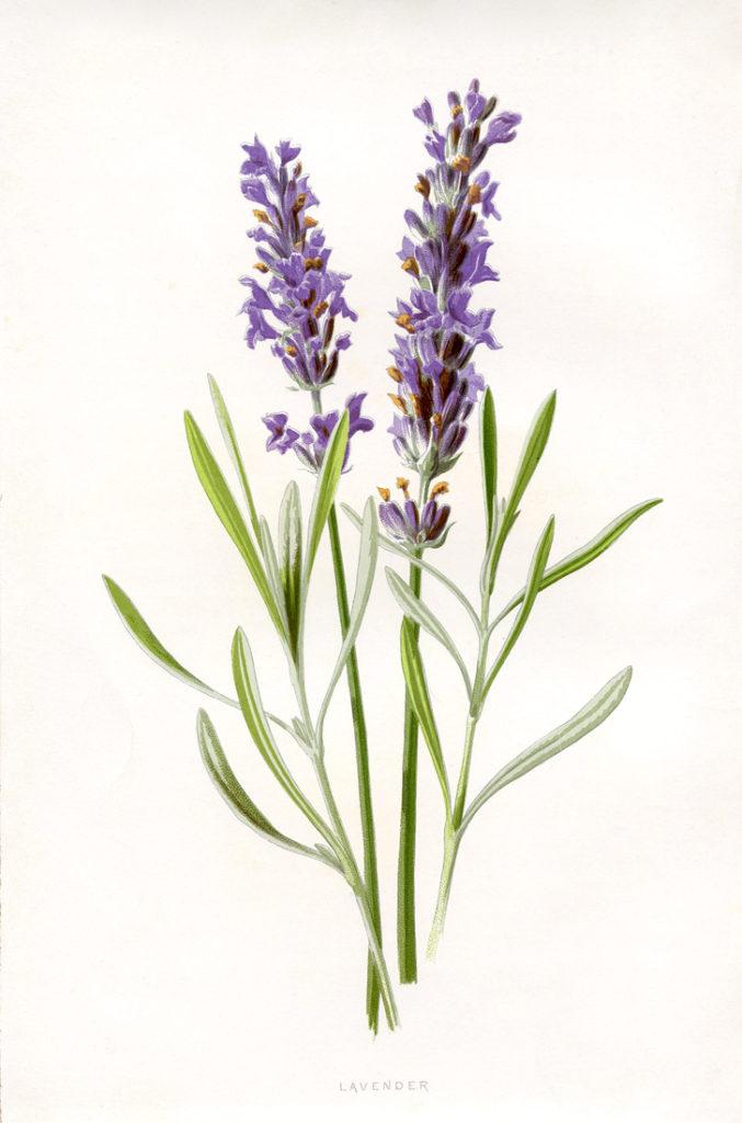 purple lavender stem clipart