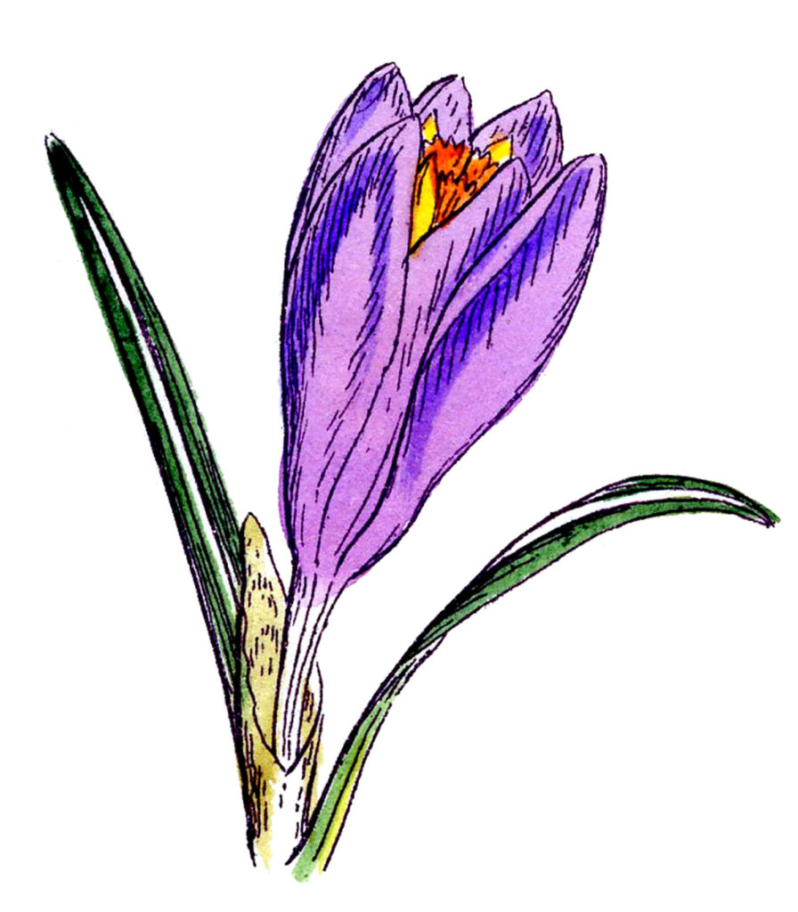 purple crocus bud clip art