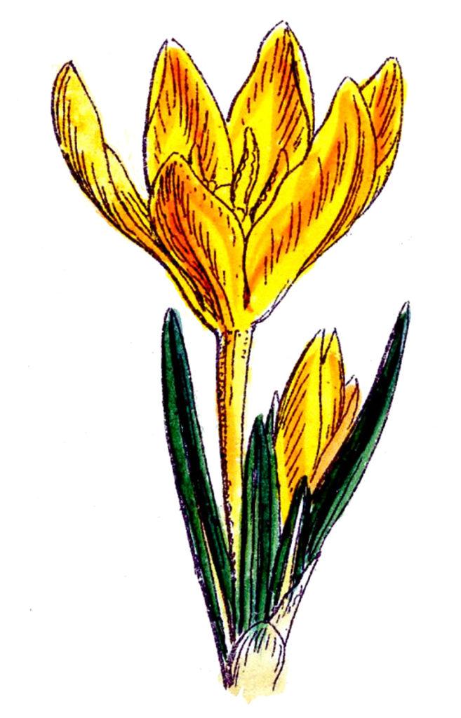 yellow crocus flower vintage clipart