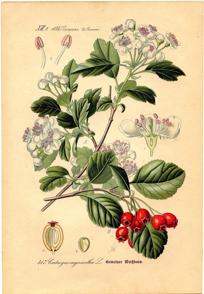 antique Hawthorn Botanical printable image